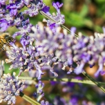 Bees are easily found as they sucking honey from the lavender flowers.